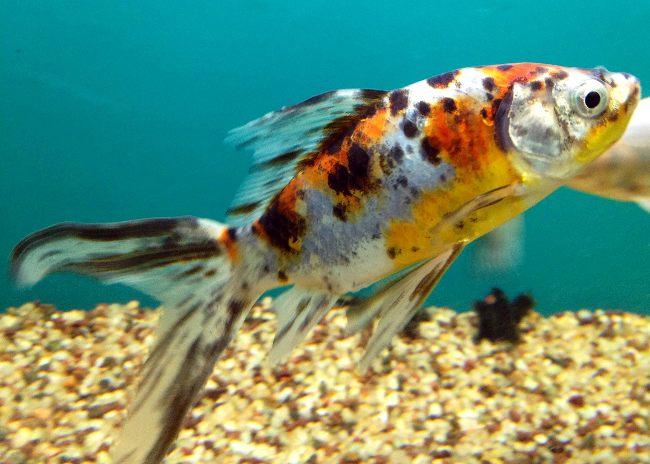 золотая рыбка шубункин в аквариуме