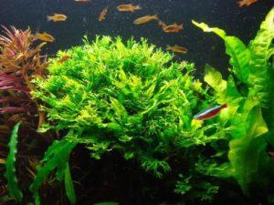 таиландский папоротник винделова в аквариуме с рыбками
