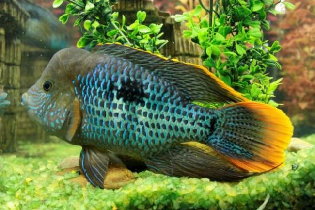 акара бирюзовая в аквариуме на фоне растений