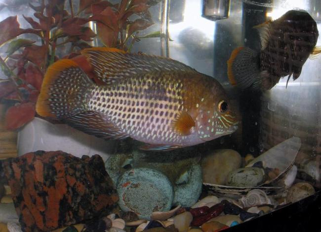 рыбка семейства цихловых акара бирюзовая или зеленый террор в аквариуме
