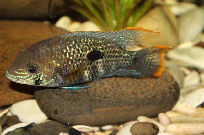 южно-американская аквариумная рыбка бирюзовая акара
