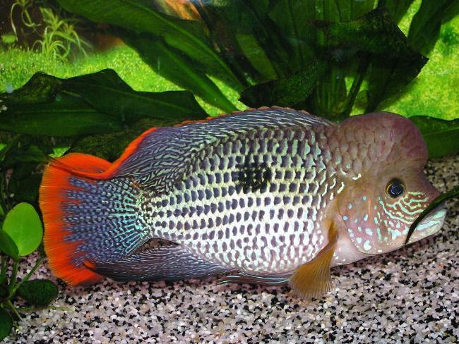 рыба родом из южной америки акара бирюзовая или зеленый террор