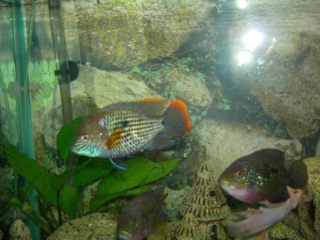 рыба семейства цихловых родом из южной америки акара бирюзовая или зеленый террор в аквариуме