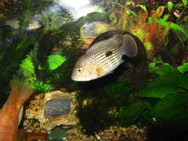 рыбка родом из южной америки бирюзовая акара или зеленый террор в аквариуме