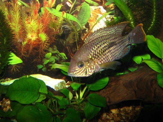 аквариумная рыбка бирюзовая акара или зеленый террор