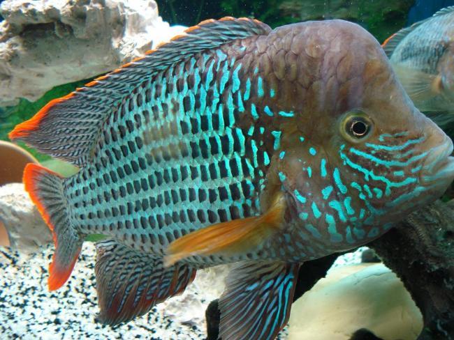 южно-американская аквариумная рыбка бирюзовая акара или зеленый террор