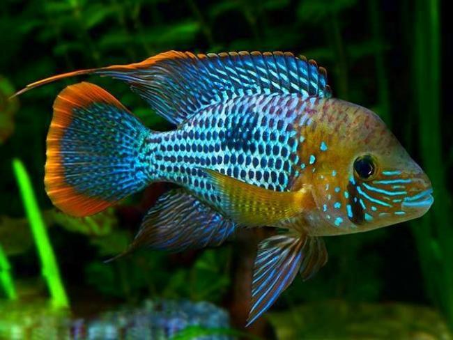 южно-американская рыбка акара бирюзовая плавает в аквариуме