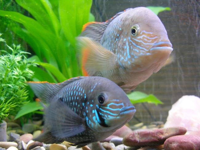 южно-американские аквариумные рыбки бирюзовые акары
