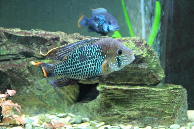 рыба родом из южной америки акара бирюзовая или зеленый террор в аквариуме