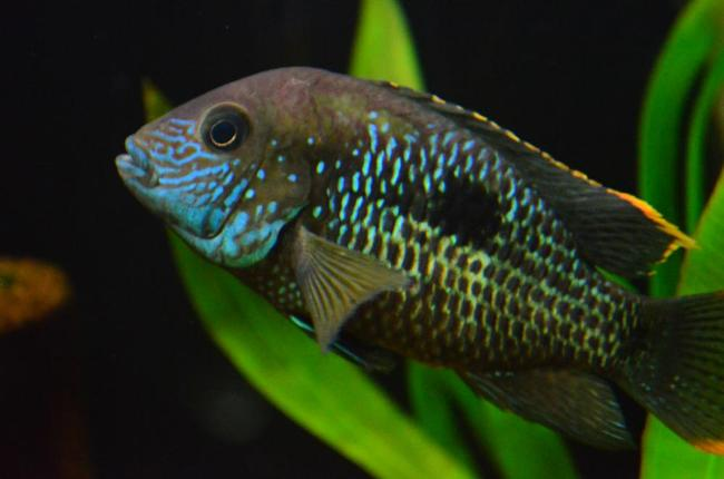 аквариумная рыбка родом из южной америки бирюзовая акара или зеленый террор