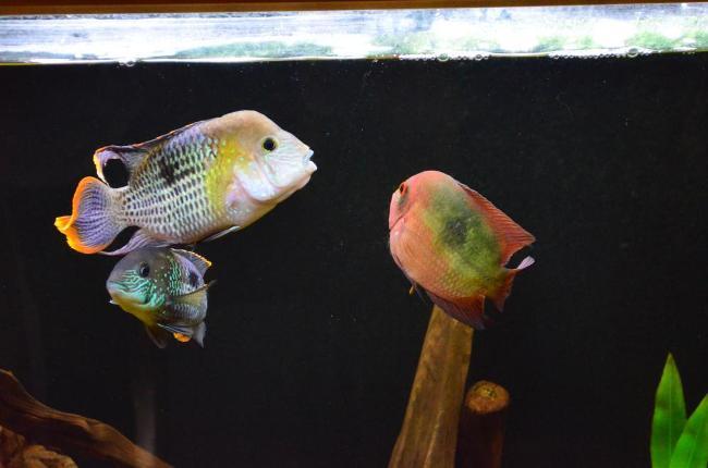 южно-американские цихлиды бирюзовые акары в аквариуме