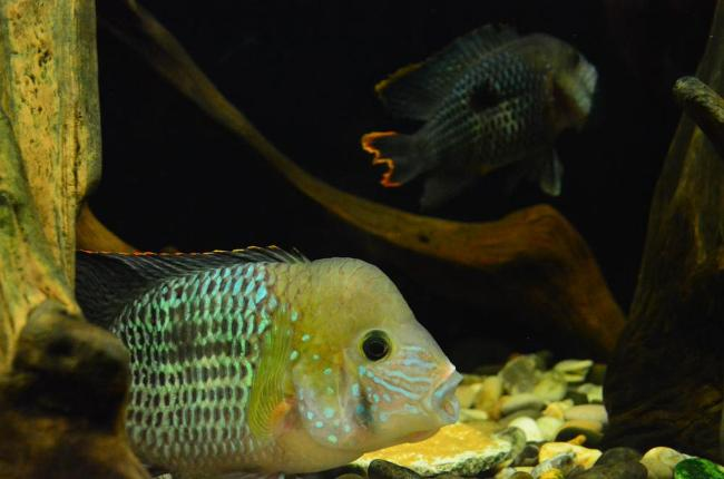 цихлиды родом из южной америки бирюзовые акары в аквариуме