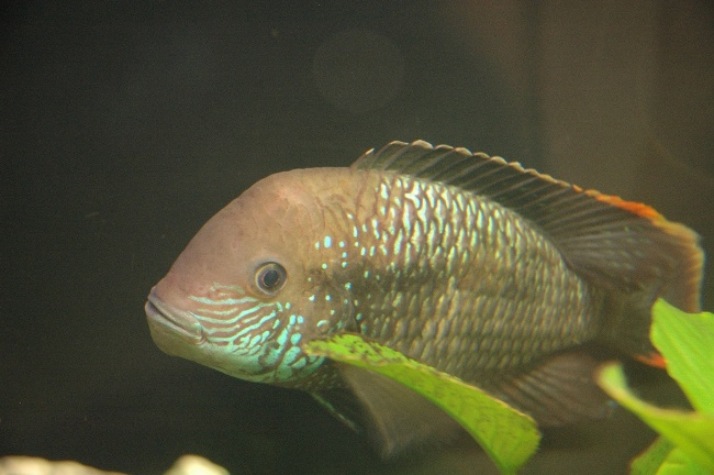 южно-американская рыба бирюзовая акара плавает в аквариуме