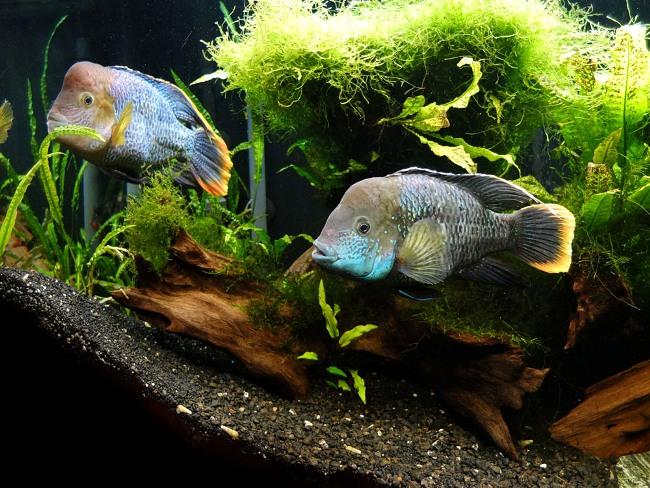 рыбки семейства цихловых родом из южной америки бирюзовые акары в аквариуме