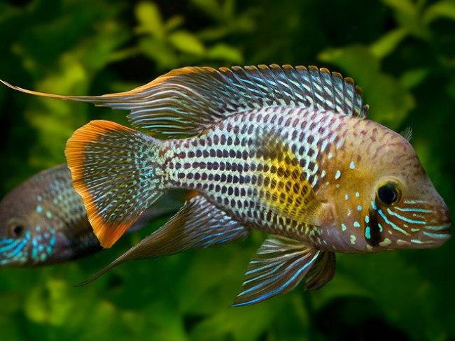 рыбка семейства цихловых бирюзовая акара