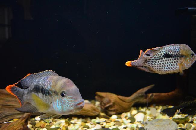 цихлиды акары бирюзовые в аквариуме