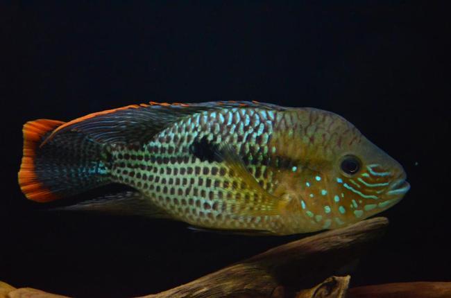 рыбка родом из южной америки бирюзовая акара