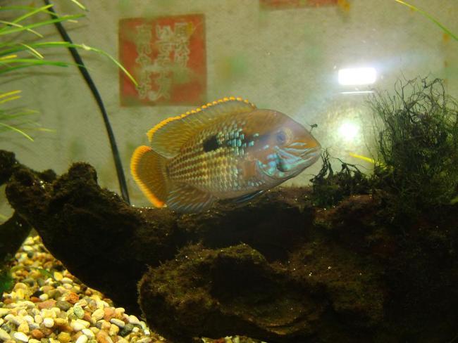 рыба семейства цихловых родом из южной америки бирюзовая акара или зеленый террор в аквариуме
