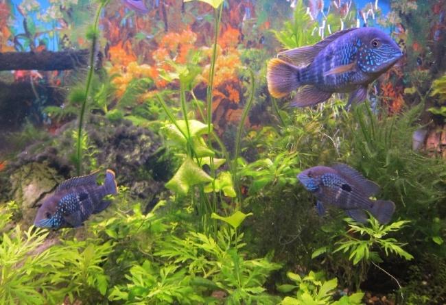 южно-американские цихлиды бирюзовые акары в аквариуме на фоне растений