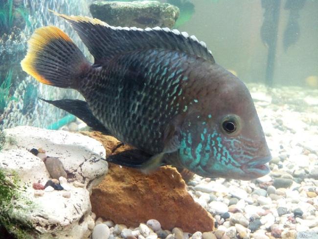 рыба родом из южной америки акара бирюзовая