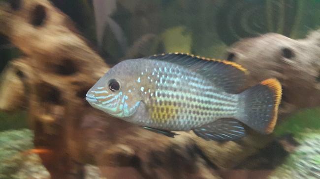 южно-американская рыбка акара бирюзовая или зеленый террор