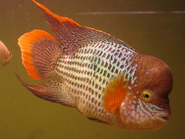 рыбка родом из южной америки акара бирюзовая