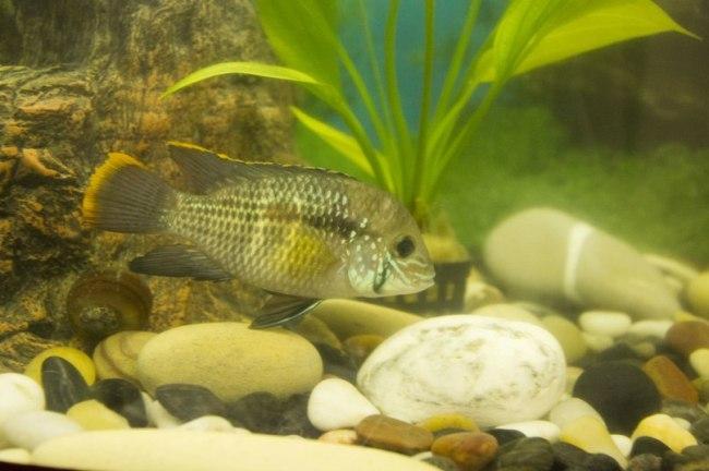 рыбка семейства цихловых родом из южной америки акара бирюзовая или зеленый террор