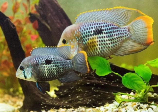южно-американские рыбки бирюзовые акары плавают в аквариуме