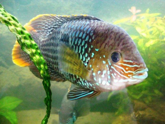 аквариумная рыбка родом из южной америки акара бирюзовая