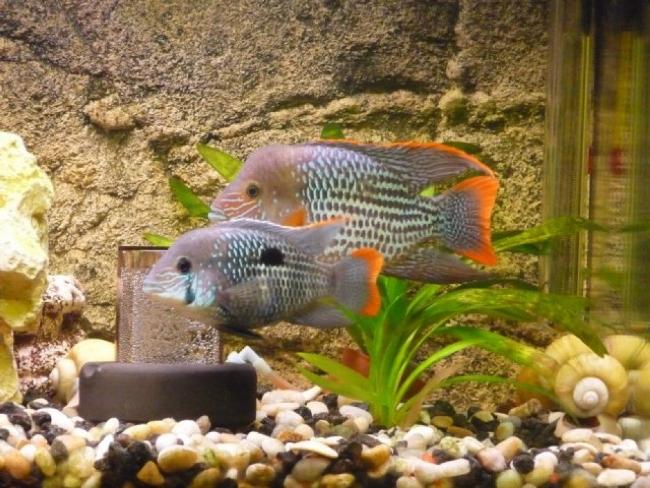 южно-американские рыбки акары бирюзовые