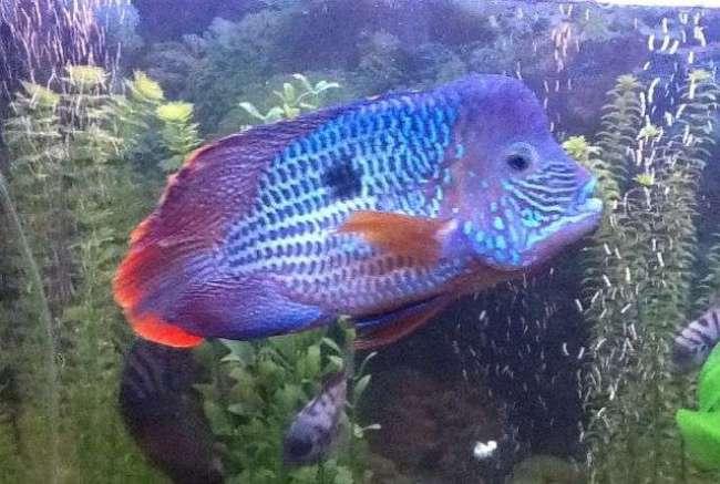 рыбка бирюзовая акара плавает в аквариуме на фоне растений