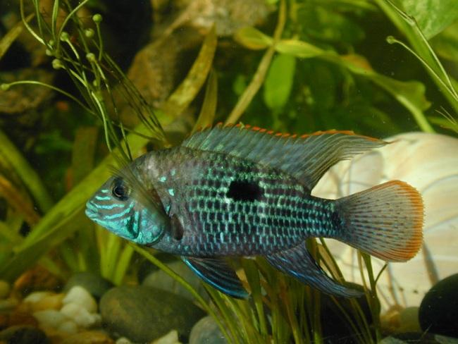 южно-американская рыбка бирюзовая акара или зеленый террор