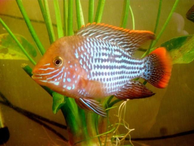 рыба семейства цихловых родом из южной америки акара бирюзовая