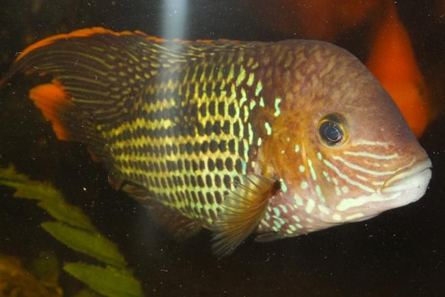 рыбка семейства цихловых бирюзовая акара или зеленый террор в аквариуме