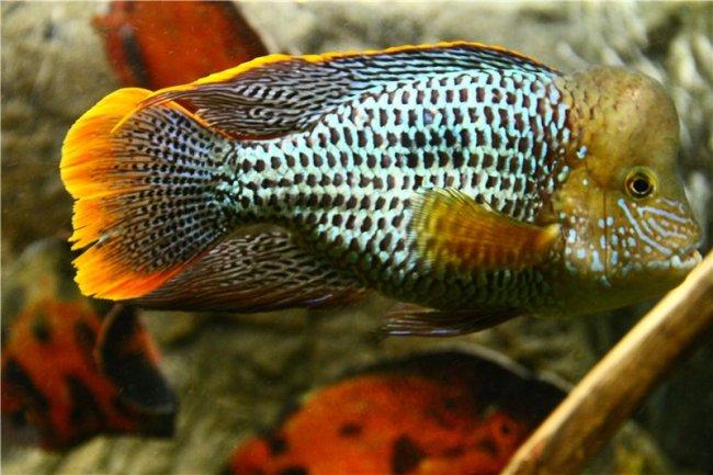 южно-американская рыбка акара бирюзовая