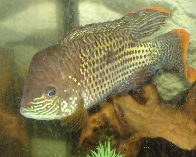 рыба семейства цихловых родом из южной америки бирюзовая акара или зеленый террор