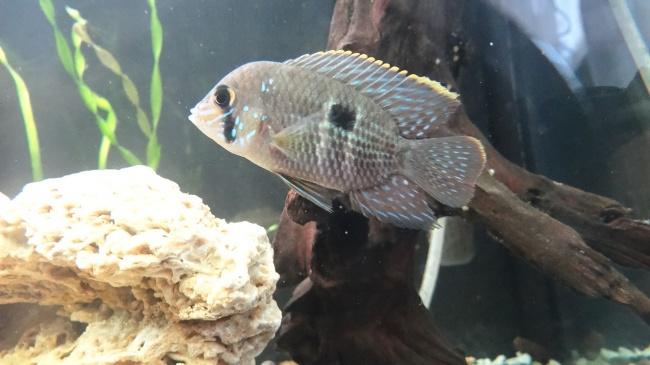 рыба родом из южной америки акара бирюзовая плавает в аквариуме