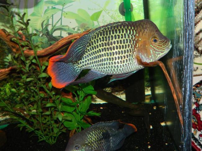 рыба родом из южной америки бирюзовая акара или зеленый террор в аквариуме