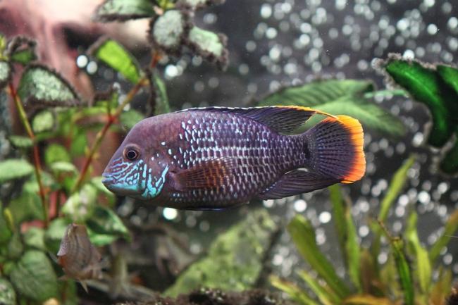 рыба семейства цихловых родом из южной америки бирюзовая акара плавает в аквариуме