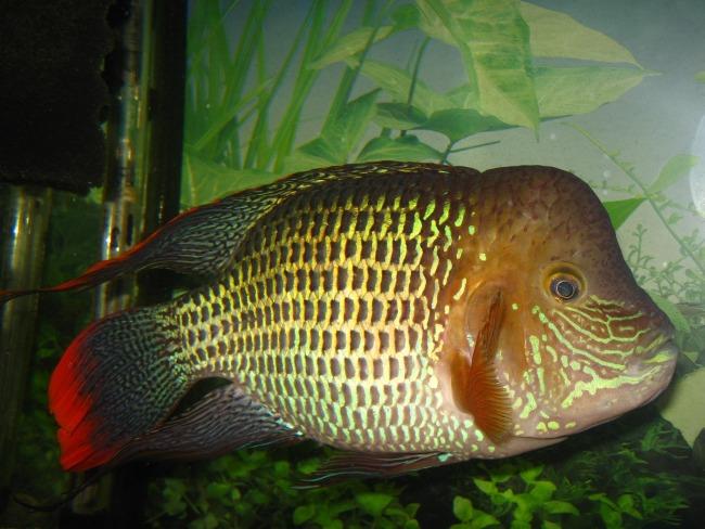 рыба акара бирюзовая в аквариуме