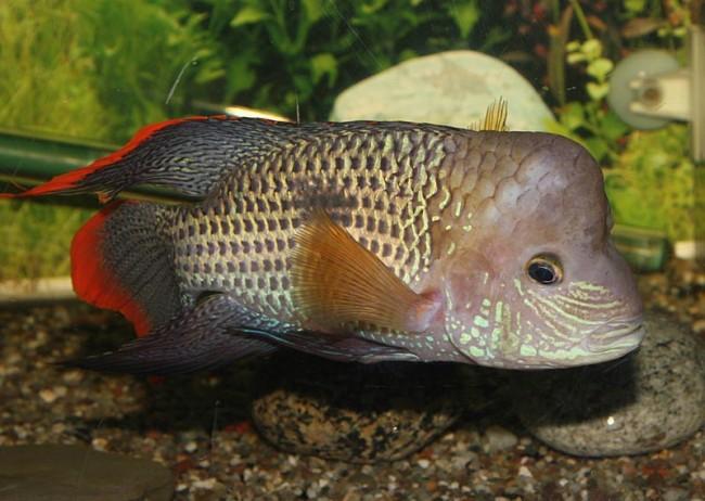 рыбка родом из южной америки бирюзовая акара или зеленый террор