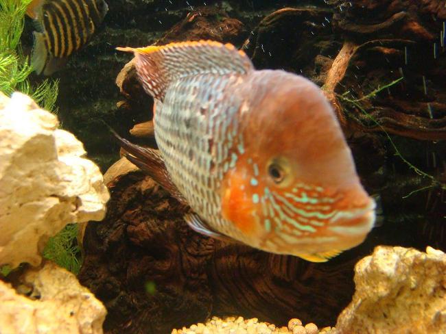 южно-американская рыба бирюзовая акара или зеленый террор плавает в аквариуме