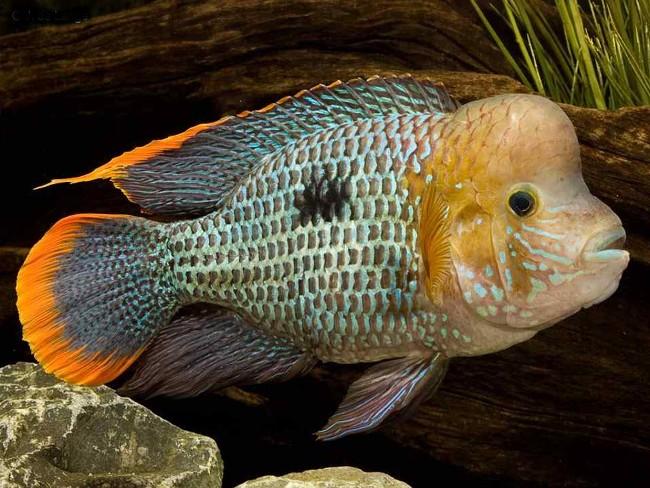 рыбка семейства цихловых акара бирюзовая в аквариуме