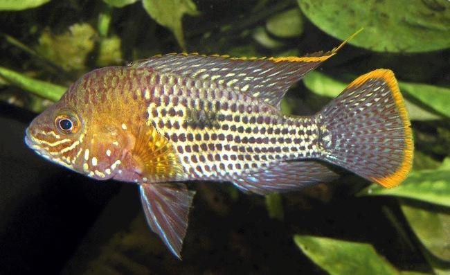 рыбка семейства цихловых родом из южной америки акара бирюзовая или зеленый террор в аквариуме
