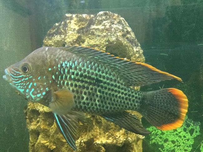 рыба бирюзовая акара или зеленый террор в аквариуме