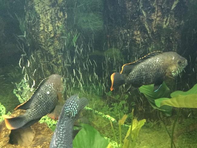 южно-американские цихлиды бирюзовые акары плавают в аквариуме