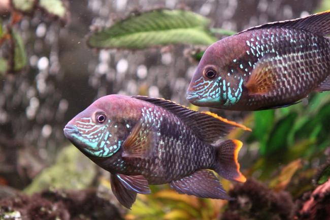 акары бирюзовые в аквариуме