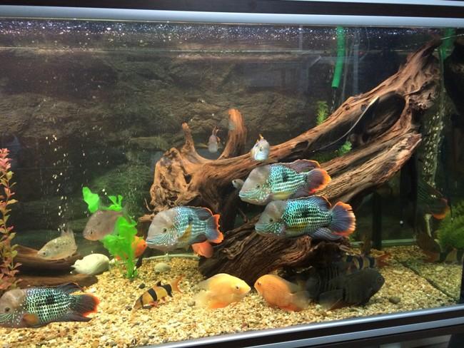 бирюзовые акары с другими рыбками на фоне коряги в аквариуме