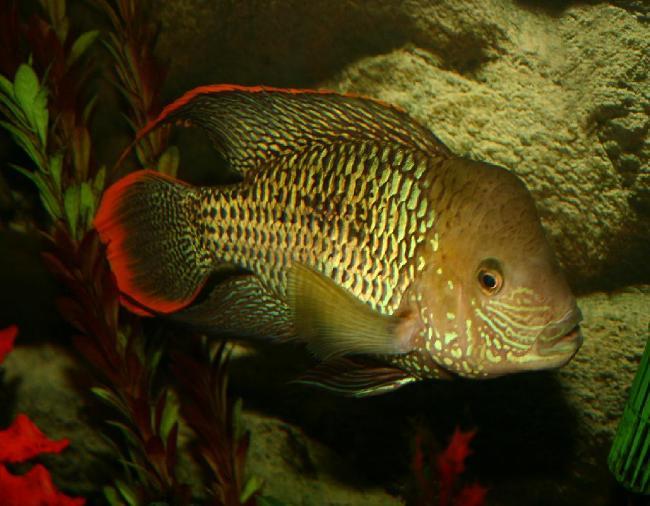 рыбка родом из южной америки акара бирюзовая в аквариуме