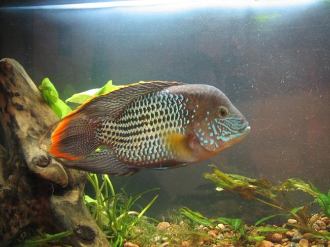 южно-американская рыбка акара бирюзовая в аквариуме